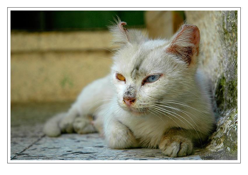 kočka s různobarevnýma očima