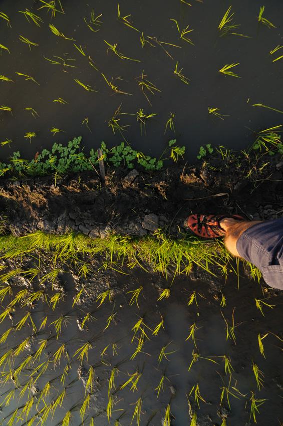 Procházka miezi rýžovými poli.