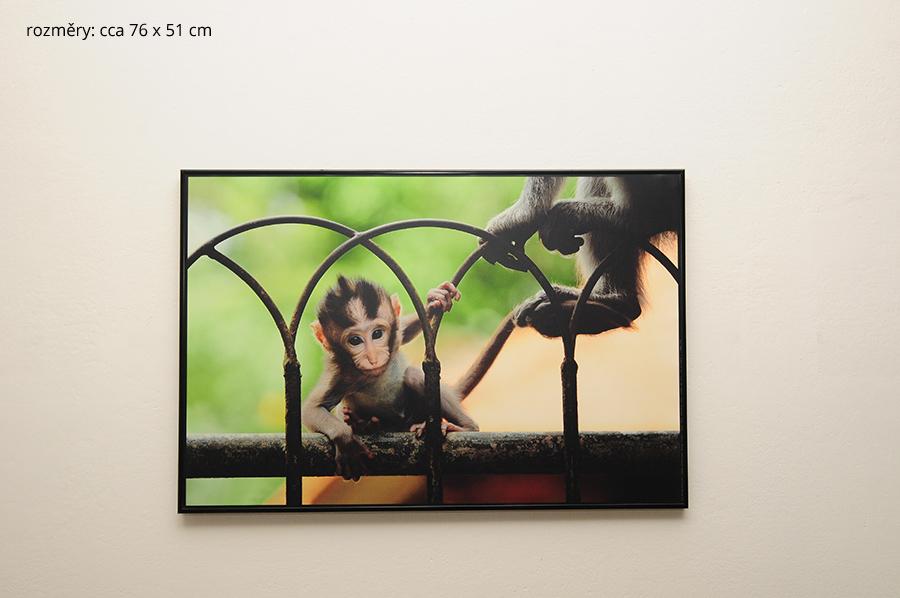 indo opička