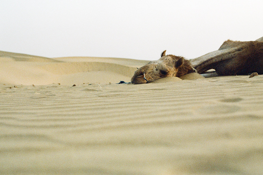 Velbloud v Thárské poušti, Indie