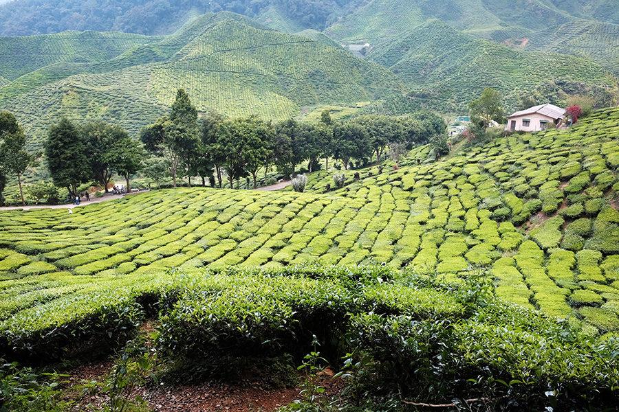 Čajové plantáže Bharat, Cameron Highlands, Malajsie