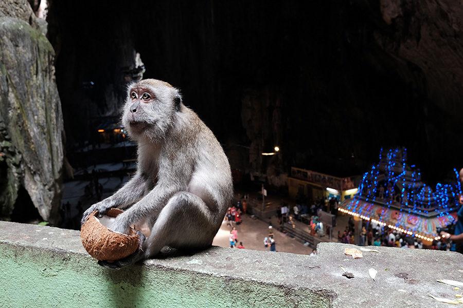 Makak v Batu Caves, Malajsie