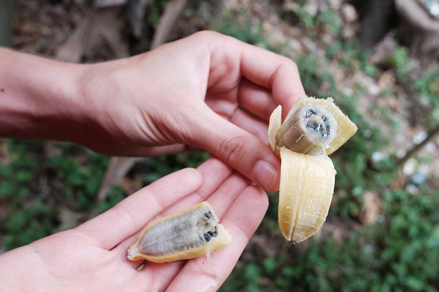 Malajské divoké banány se semínky, nedaleko Gua Tempurung, Malajsie