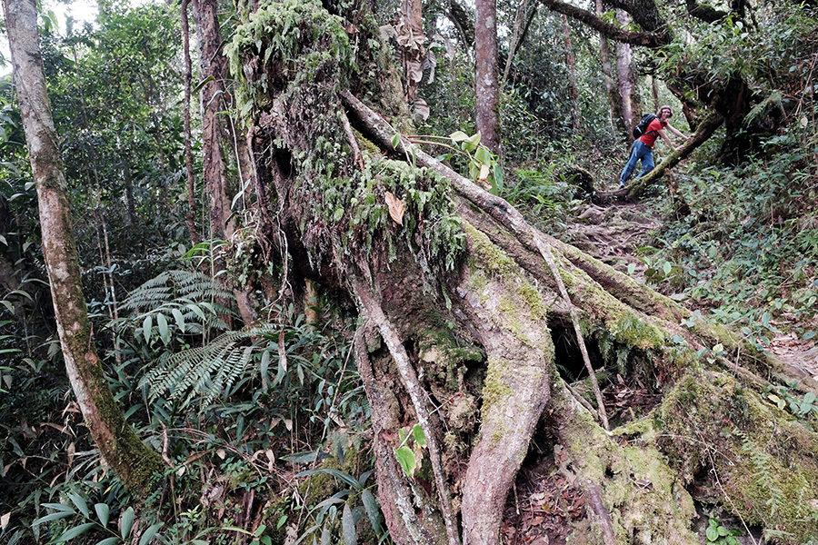 Treky džunglí v Cameron Highlands, Malajsie