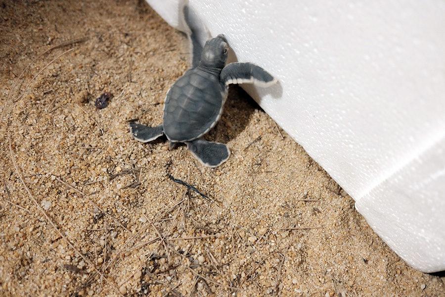 Malá kareta obrovská v Ma'daerah Turtle Sanctuary