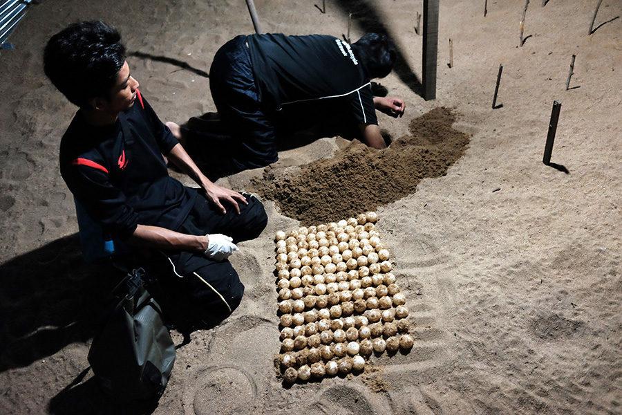 Zahrabávání želvích vajec v líhni, Ma'daerah Turtle Sanctuary