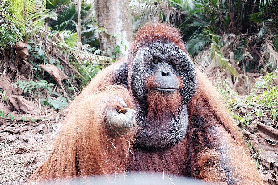 Orangutaní král v Bukit Merah Island Foundation