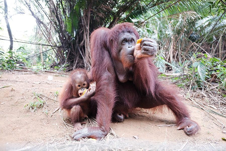 Orangutaní rodinka v Bukit Merah Island Foundation