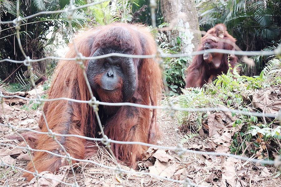 Orangutani v Bukit Merah Island Foundation