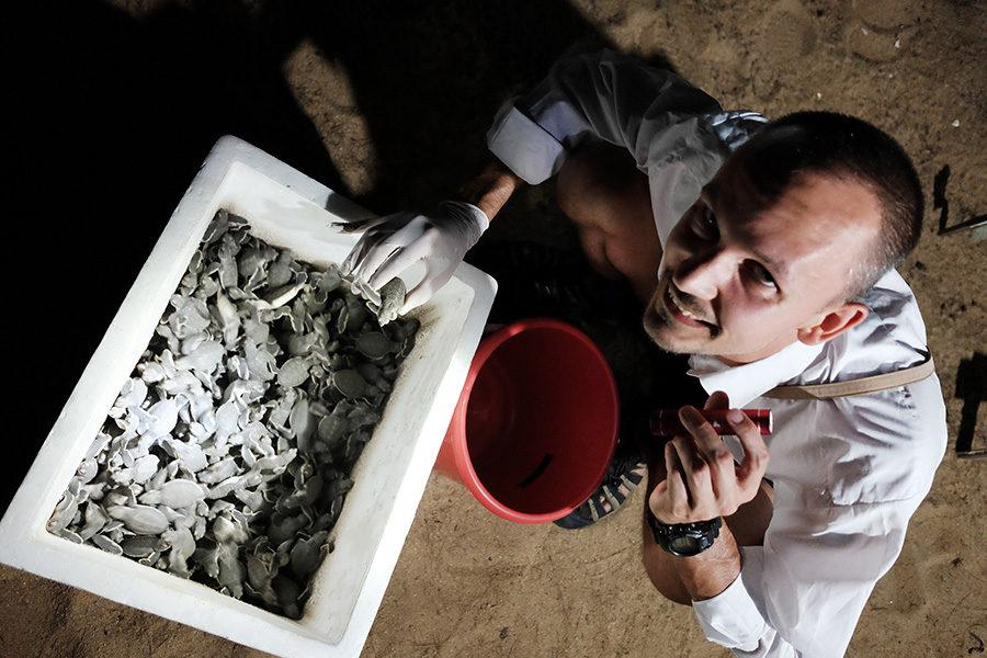 Sbírání želviček karety obrovské v Ma'daerah Turtle Sanctuary
