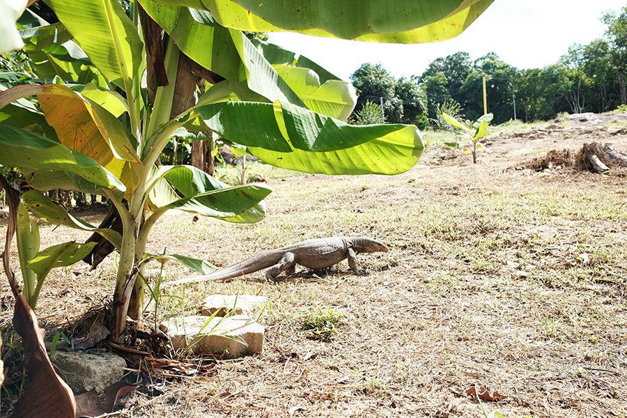 varan pod banánovníkem, Perhentian Kecil, Malajsie