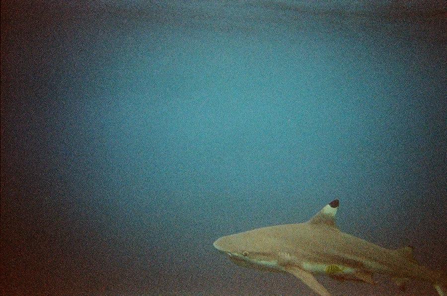 Žralok černoploutvý, Perhentian Kecil, Malajsie