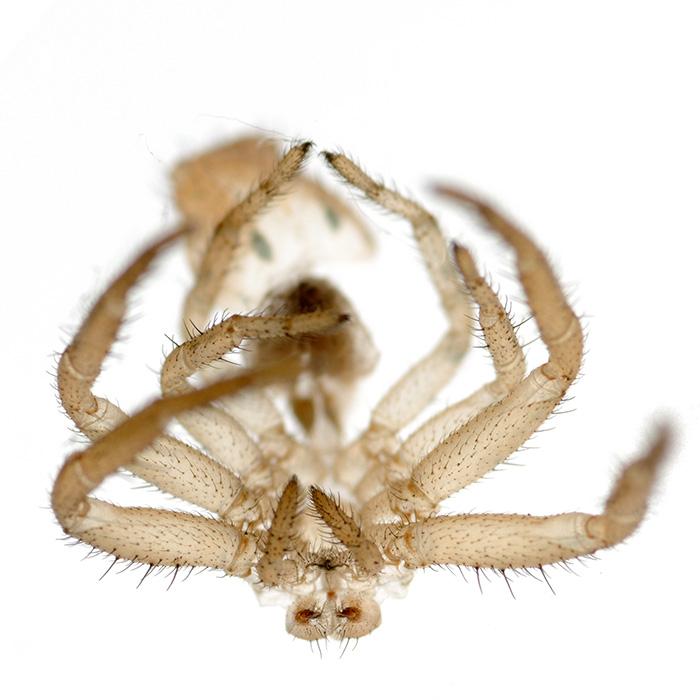 Pavoučí kabátek (svlečka)