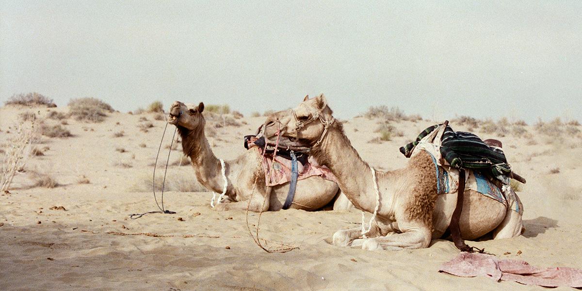 Na velbloudech do pouště