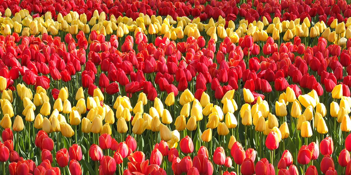 Nizozemí: SGolfíkem za tulipány