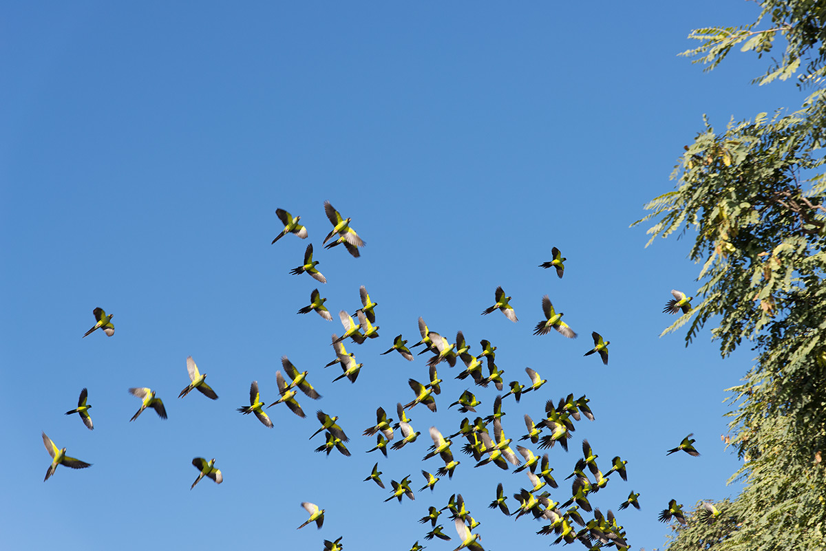 hejno papoušků v Buenos Aires, Argentina