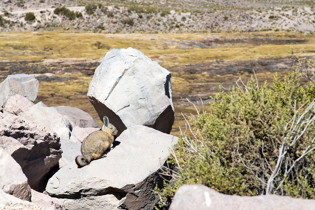 divoká činčila na kameni
