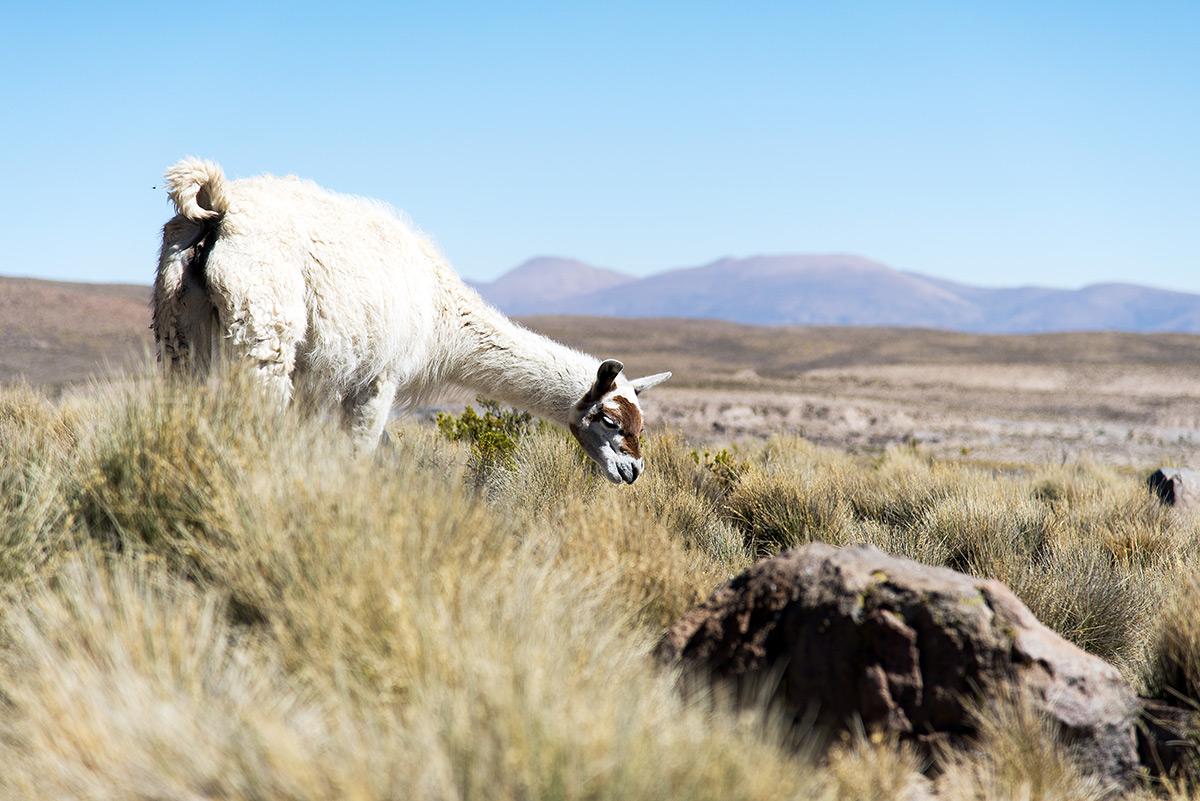 typické Chile - lamy a hory